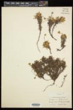 Diapensia lapponica image