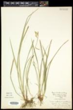 Carex knieskernii image