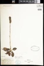 Image of Goodyera pubescens