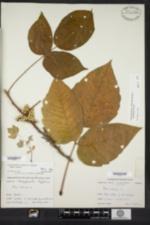 Toxicodendron radicans image