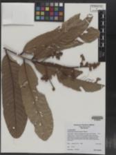 Image of Cryptocarya mackinnoniana