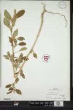 Image of Amaranthus hybridus