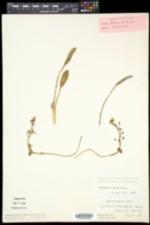 Sagittaria rigida image