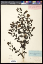 Aureolaria pedicularia image