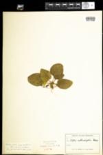 Viola rotundifolia image