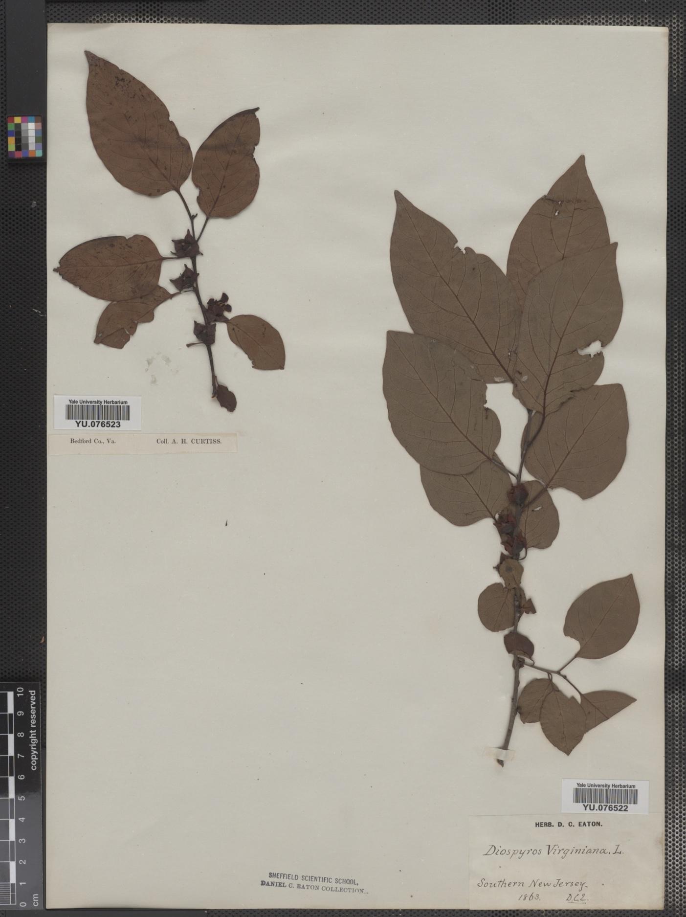 Ebenaceae image