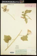 Lavatera trimestris image