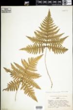 Image of Phegopteris hexagonoptera