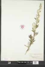 Artemisia vulgaris image