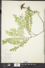 Image of Adiantum pedatum ssp. pseudocaudatum