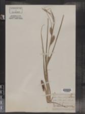 Image of Carex aristata