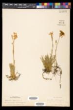 Dianthus plumarius image