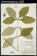 Triosteum aurantiacum var. aurantiacum image