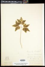 Anemone nemorosa image