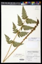 Image of Dryopteris benedictii