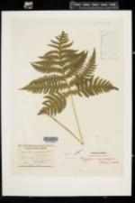 Phegopteris hexagonoptera image
