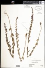 Lythrum alatum image