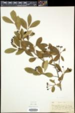 Aronia floribunda image