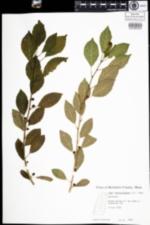 Image of Ilex verticillata