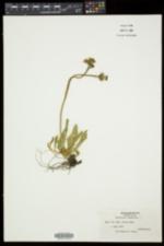Hieracium flagellare image