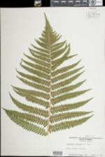 Image of Dryopteris filix-mas
