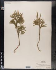 Lycopodium obscurum var. dendroideum image