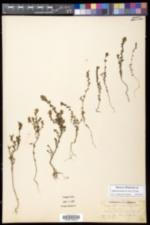 Euphrasia nemorosa image