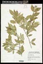 Cornus arnoldiana image