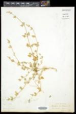 Atriplex prostrata image