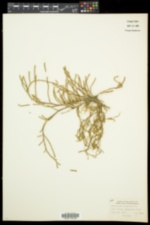Salicornia ambigua image
