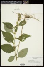 Solidago flexicaulis image