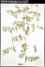 Vicia cracca image
