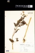 Image of Impatiens capensis