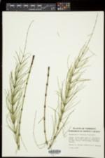 Equisetum × litorale image
