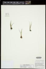 Isoëtes echinospora image