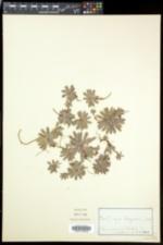 Saxifraga paniculata image