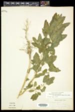 Chenopodium strictum image