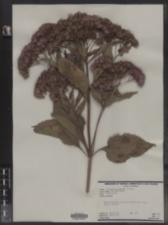 Eupatoriadelphus dubius image