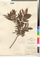 Image of Salix cordata