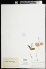 Image of Listera convallarioides