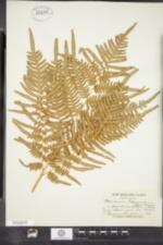 Image of Pteridium aquilinum ssp. pseudocaudatum
