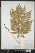 Image of Pteridium aquilinum ssp. latiusculum