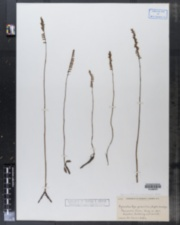 Image of Gyrostachys gracilis