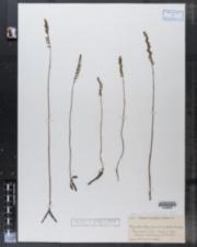 Image of Gyrostachys gracilis