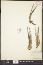 Isoetes engelmannii image