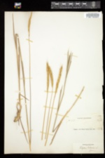 Image of Elymus sibiricus
