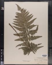 Dryopteris carthusiana image
