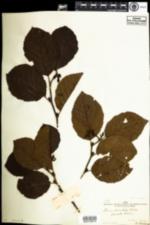 Image of Alnus serrulata