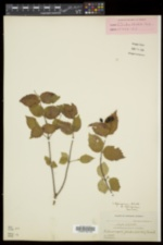 Viburnum rafinesqueanum var. rafinesqueanum image