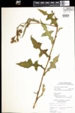 Image of Lactuca biennis